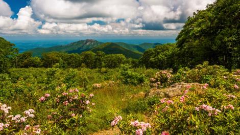 Un laurier des montagnes dévoilant une vue imprenable sur le Shenandoah National Park