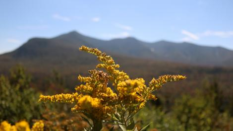 Gerbes d'or en fleur dans la Green Mountain National Forest