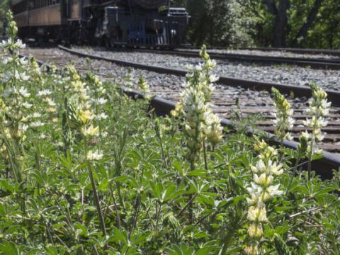 Un train traverse le Gold Country à Jamestown au mois d'avril