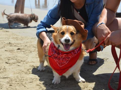 Un fier participant au Corgi Beach Day