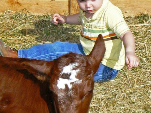 Rencontre entre un petit garçon et un veau lors des Baby Animal Days à l'American West Heritage Center